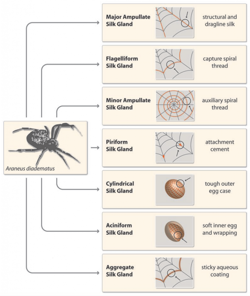 Figure 1: Illustration of the variaty of silks produced by spiders at the example of the European garden spider Araneus diadematus. The figure is taken from Roemer and Scheibel [2], Figure 1 A).